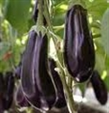 Picture of Aubergine Plant, Potted