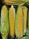 Picture of Kentish Sweetcorn x 2