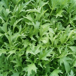 Picture of Mizuna Leaves
