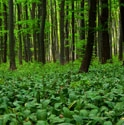 Picture for category Pip's Tip: Wild Garlic