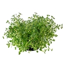 Picture of Common Thyme Plant, Potted