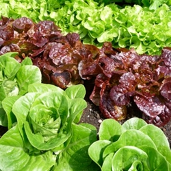 Picture of Spring Lettuce Selection x 3