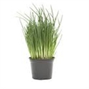 Picture of Chive Plant, Potted