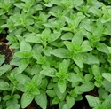Picture of Marjoram Plant, Potted