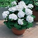 Picture of Geranium, potted, 1 litre
