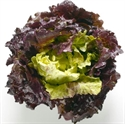 Picture of Red Batavia Lettuce