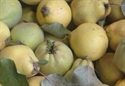 Picture of New Season Quince (1kg)