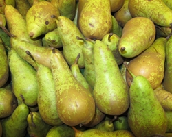 Picture of Kentish Conference Pears