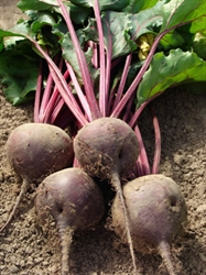 Picture of Purple Beetroot, bunched