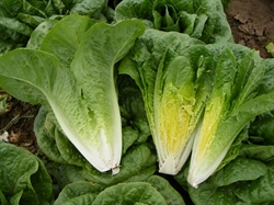 Picture of Cos Lettuce