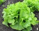 Picture of Oak Leaf Lettuce