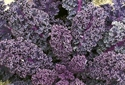 Picture of Red Curly Kale BIG BAG (500g)