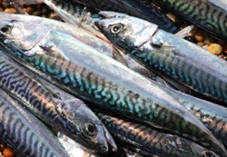 Picture of New Season Mackerel x 2 (apx 400g @ £13 / kg)