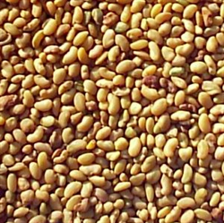 Picture of Alfalfa Seeds (100g)