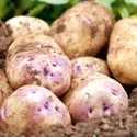 Picture of Kestrel Potatoes (1kg)
