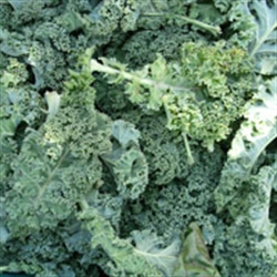 Picture of Green Curly Kale