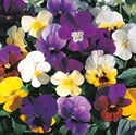 Picture of Mixed Viola, tray
