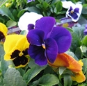 Picture of Jumbo Pansies (1 litre)