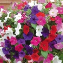 Picture of Mixed Petunia, tray