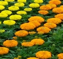 Picture of Mixed Marigold, tray