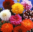 Picture of Mixed Dahlia 1Ltr