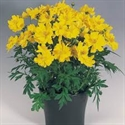 Picture of Yellow Cosmos 1 litre
