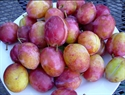 Picture of Victoria Plums (500g)