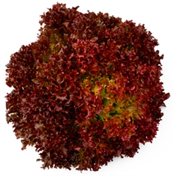 Picture of Red Frisee Lettuce