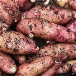 Picture of Pink Fir Apple Potatoes