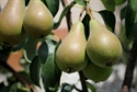 Picture of Concorde Pears (500g)