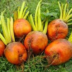 Picture of Golden Beetroot, Loose