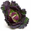 Picture of January King Cabbage