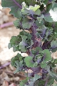 Picture of Flower Sprouts Stalk