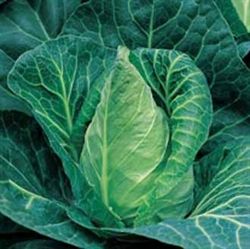 Picture of Summer Cabbage (apx 400g)