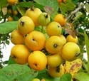 Picture of Kentish Yellow Crab Apples (1kg)