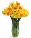 Picture of Outdoor Daffodils (30 stems)