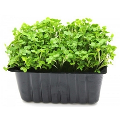 Picture of Cress Punnet