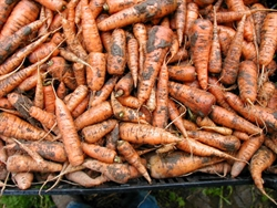 Picture of Suffolk Carrots (500g)