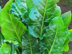 Picture of Spinach Erbette