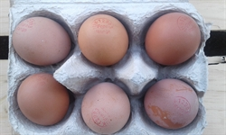 Picture of Pullet Eggs x 6