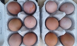 Picture of Pullet Eggs x 12
