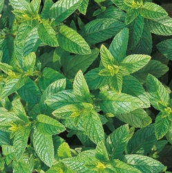 Picture of Mint Green Perennial Seeds
